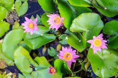 Lotus Στοκ εικόνα με δικαίωμα ελεύθερης χρήσης