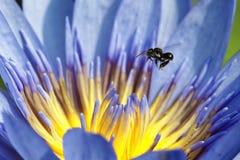 Lotus Fotografie Stock