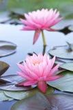 Lotus Zdjęcia Royalty Free