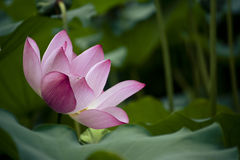 lotus Fotografia de Stock Royalty Free