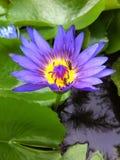 lotus Photos libres de droits