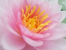 Lotus Стоковое фото RF