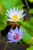 Lotus Fotografía de archivo