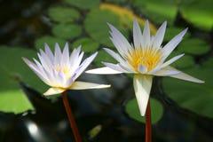 Lotus Fotografering för Bildbyråer