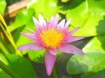Lotus Στοκ Εικόνες
