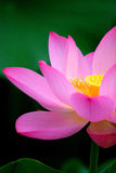 Lotus Royalty-vrije Stock Fotografie