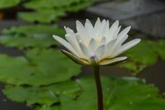 Λουλούδι Lotus στο νερό Στοκ φωτογραφία με δικαίωμα ελεύθερης χρήσης