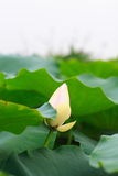 Lotus. The white lotus about to bloom Stock Images