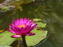 lotus Imagens de Stock