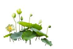 Lotus obraz stock