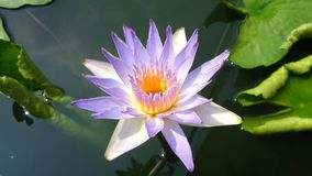 lotus images libres de droits