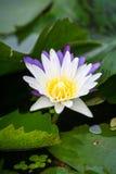 Lotus Arkivbild