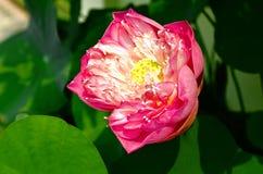 Lotus 1 images stock