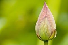 Free Lotus Royalty Free Stock Photos - 5323748