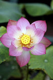 Lotus. A charming lotus bloom in the pond Stock Photos