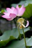 Lotus. Stock Photos