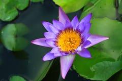 Lotus Imágenes de archivo libres de regalías