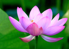 Lotus. The lotus with beautiful colors Stock Photography