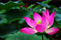 Lotus Fotografia Royalty Free