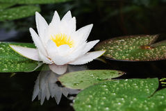 Lotus. White lotus blossom after the rain Stock Photography