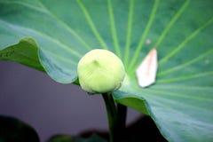 Lotus Arkivfoto