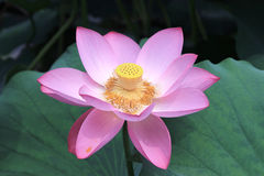 Lotus Royaltyfri Foto