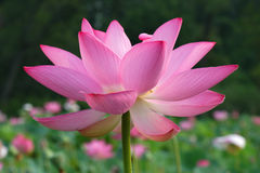 Lotus. In garden in full bloom Royalty Free Stock Images