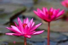 Lotus Fotografía de archivo libre de regalías