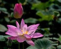 Lotus obraz royalty free