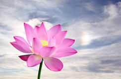 Lotus Royalty Free Stock Image