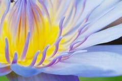 lotus Foto de Stock Royalty Free