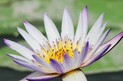 Lotus στοκ φωτογραφία