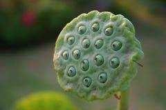 Lotus. Close-up of lotus seeds royalty free stock photos