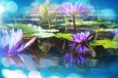 Lotus Stock Photography