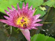 Lotus Arkivfoton