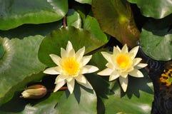Lotus стоковое фото