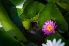 Lotus Στοκ Εικόνα