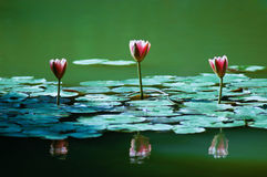 Lotus. 3 reflected in the water lily Royalty Free Stock Photography