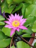 Lotus Foto de archivo