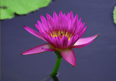 Lotus Royaltyfria Bilder