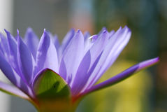 Lotus. Closeup of lotus for concept purpose and purple lotus at reflecte Royalty Free Stock Photo