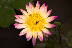 lotus Fotos de Stock Royalty Free