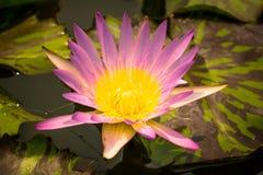 lotus Imagem de Stock Royalty Free