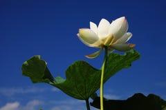 Lotus Zdjęcie Stock