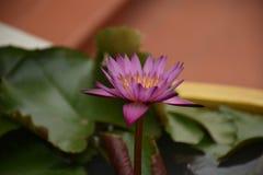 Lotus Στοκ Φωτογραφίες