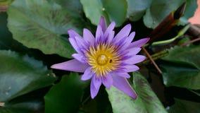 Lotus Fotos de archivo