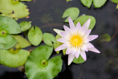 Lotus Fotografia Stock