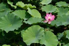 Lotus. The lotus in the nanhu park shenyang china Stock Image
