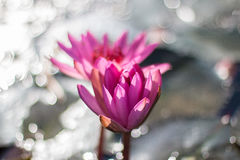 Lotus Стоковая Фотография