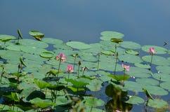 Lotus湖 库存图片